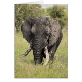 Alter Stier des afrikanischen Elefanten - Karte