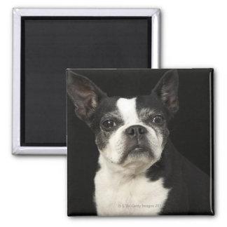 Älteres Bosten Terrier auf schwarzem Hintergrund Quadratischer Magnet