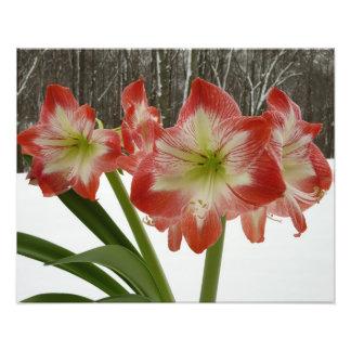 Amaryllis Rot-Feiertags-dem Winter in des Schnee-I Fotodruck