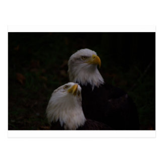 amerikanische Adler 2 Postkarte