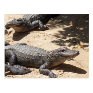 Amerikanische Alligatoren Postkarte