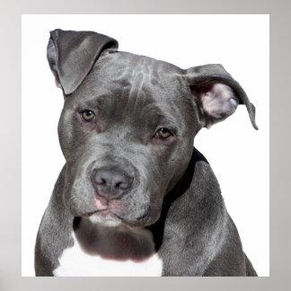Amerikanische Pitbull Terrier Poster