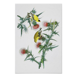 Amerikanische Vögel Goldfinch-Johns Audubon von Poster