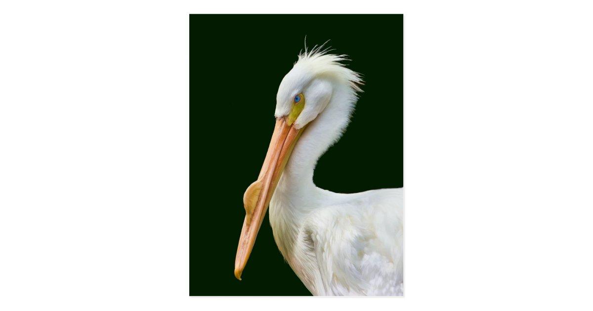 Amerikanische wei er pelikan vogel postkarte postkarte zazzle - Amerikanische weihnachtskarten ...