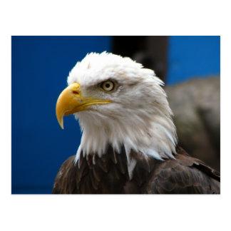 Amerikanische Weißkopfseeadler-Postkarte Postkarten