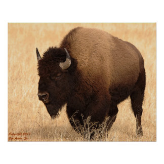 Amerikanischer Bison #1 Poster