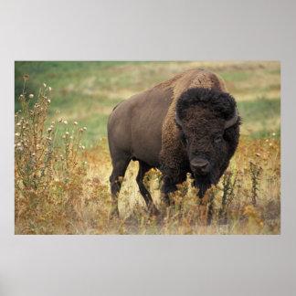 Amerikanischer Bison Posterdruck