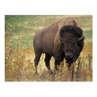 Amerikanischer Bison-Postkarte Postkarte