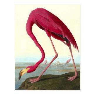 Amerikanischer Flamingo, John James Postkarte