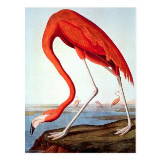 Amerikanischer Flamingo Postkarte