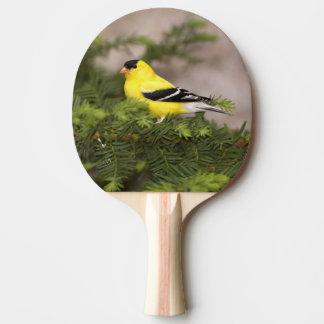 Amerikanischer Goldfinchmann in einem Baum Tischtennis Schläger