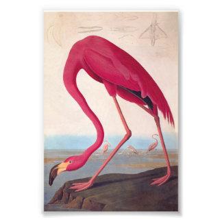 Amerikanischer rosa Flamingo Audubon Vintages Fotografischer Druck