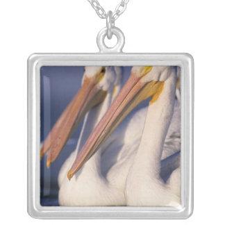 Amerikanischer weißer Pelikan, Pelecanus Versilberte Kette