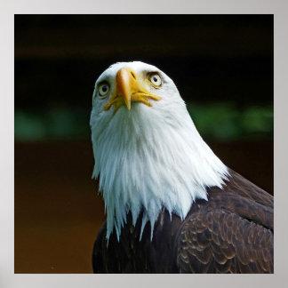 Amerikanischer Weißkopfseeadler-Kopf Poster