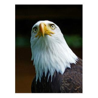 Amerikanischer Weißkopfseeadler-Kopf Postkarten