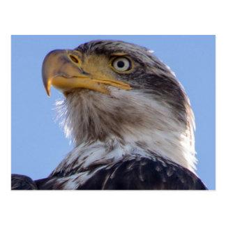 Amerikanischer Weißkopfseeadler Postkarte