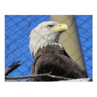 Amerikanischer Weißkopfseeadler-Vogel Postkarte