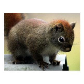 Amerikanisches rotes Eichhörnchen Postkarte