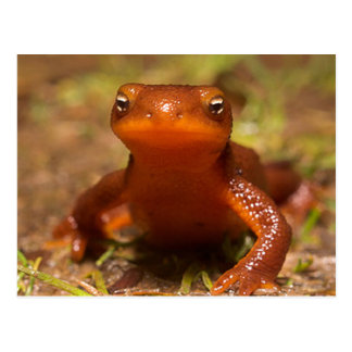 Amphibisch Reptil Oregons Corvallis Postkarte