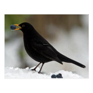 Amsel, die Trauben im Schnee isst Postkarte