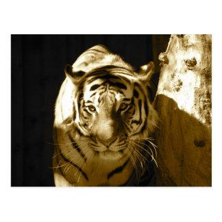 Amur-Tiger im Sepia Postkarten