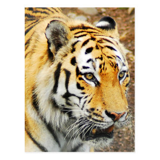 Amur-Tiger Postkarte