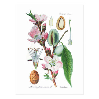 Amygdalus communis (Mandel) Postkarten