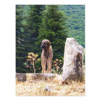 Anatolischer Schäfer-Hund - Ephesus, die Türkei Postkarte