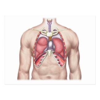 Anatomie der menschlichen Lungen an Ort und Stelle Postkarte