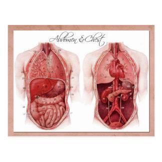Anatomie des Abdomen und des Kastens Postkarte