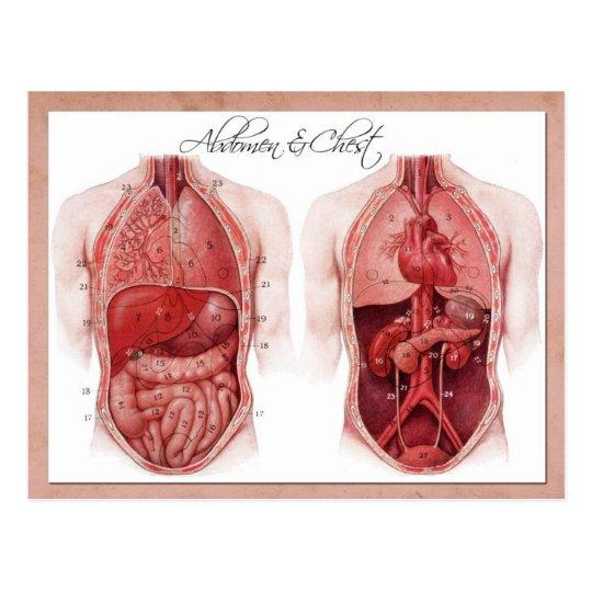Anatomie des Abdomen und des Kastens Postkarte | Zazzle