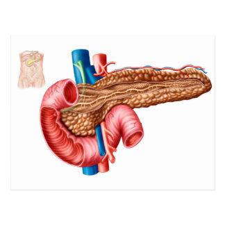 Anatomie des Pankreas Postkarte