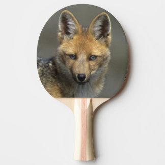AndenFox, (Dusicyon culpaeus), Paramo Cotopaxi Tischtennis Schläger