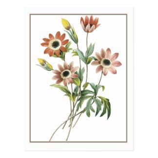 Anemone Stellata Postkarte