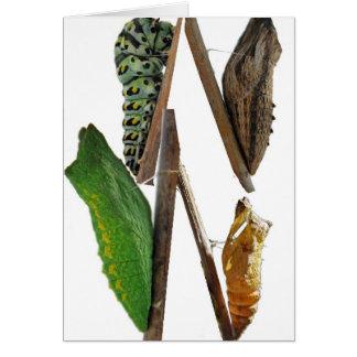 Anis-Frack-Schmetterling chrysalises Karte