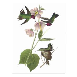Annas Kolibri, James Audubon Postkarte