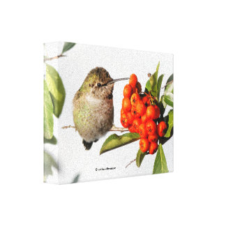 Annas Kolibri-Posen mit dem Pyracantha Leinwanddruck