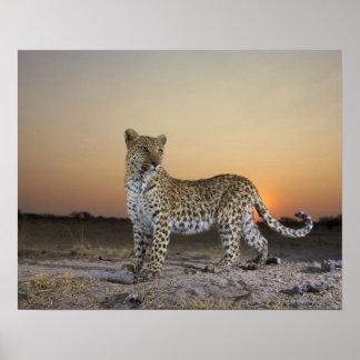 Ansicht in voller Länge des Leoparden (Panthera Poster