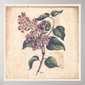 Antike Botanicals Druck-Plakat-Flieder-Blumen Poster