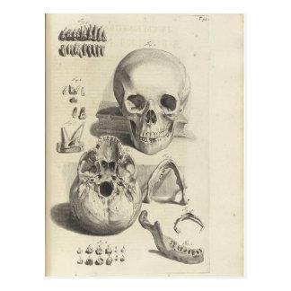 Antike Druck Schädel-Anatomie-Postkarte Postkarten