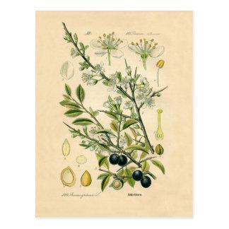 Antiker botanischer Druck - Schlehdorn Postkarte