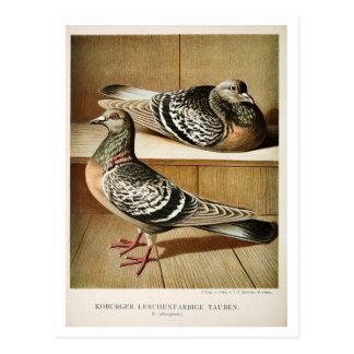 Antikes Taube litho, das Coburger graviert Postkarten