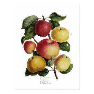 Äpfel Postkarte