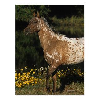 Appaloosa-Horsebereitstehender See Postkarte