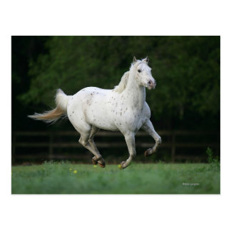 Appaloosa-Pferd, das 1 laufen lässt Postkarte