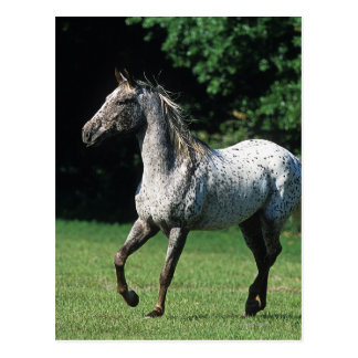 Appaloosa-Pferd, das 2 laufen lässt Postkarte