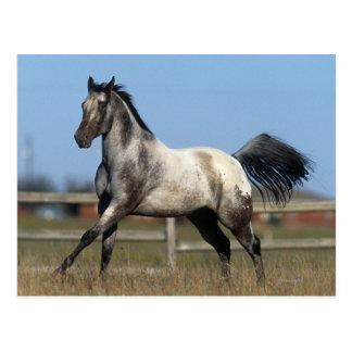 Appaloosa-Pferd, das 3 laufen lässt Postkarte