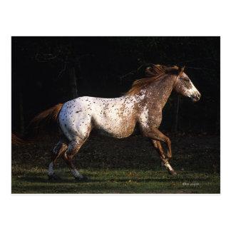 Appaloosa-Pferd, das 4 laufen lässt Postkarte