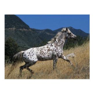 Appaloosa-Pferd, das oben Berg laufen lässt Postkarte