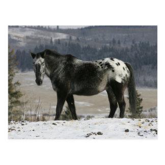 Appaloosa-Pferd im Schnee Postkarte
